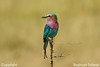 """""""African Beauty"""" Lilac Breasted Roller.....Tz"""