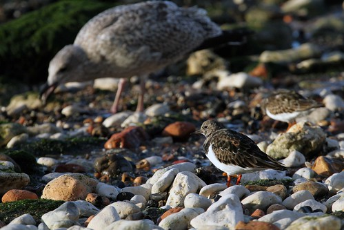 Turnstone action six of seven