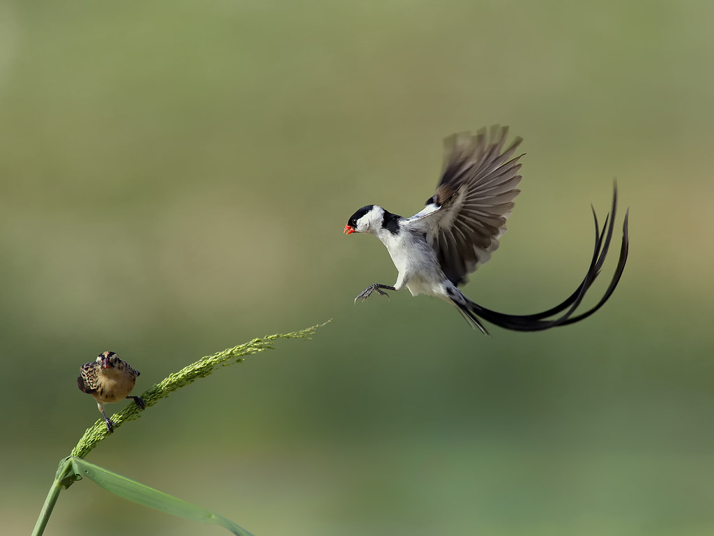 Pin-tailed Whydah _ PPB ☺☺☺