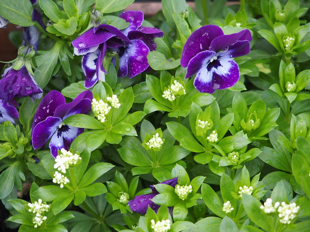 Edible spring flowers: violas and sweet woodruff