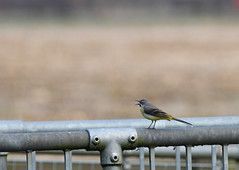 Grey wagtail Byron's Pool 080315 3566