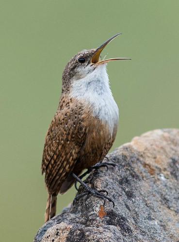 birds wren
