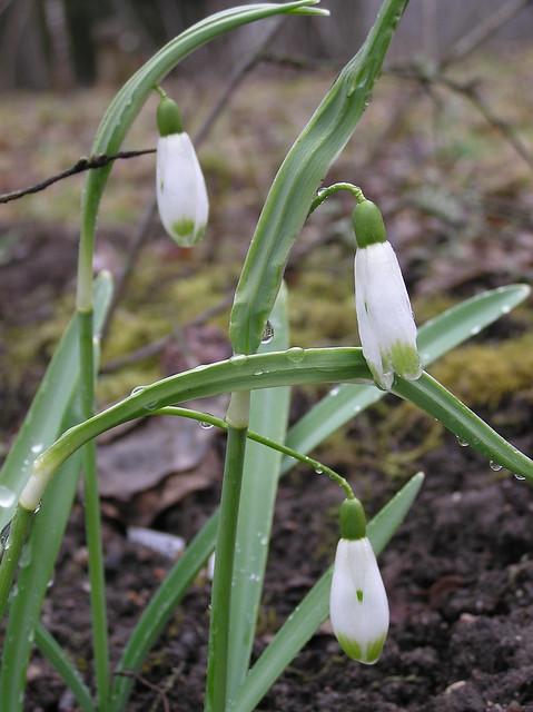 Galanthus 'Viridapice'