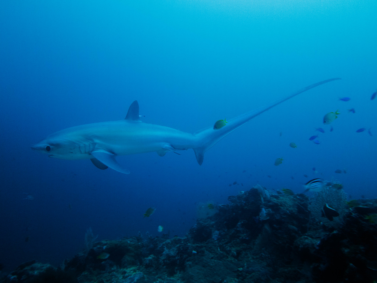 Pelagic Thresher Shark, Monad Shoal, Malapascua, Filipinene