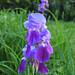 Iris unfurled (02)