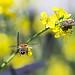 Honeybee's approaching to a bug(벌레로 접근중인 꿀벌)