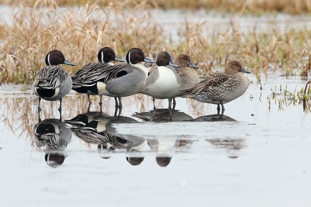 Six pintails stand on the melting ice in Horse Lake