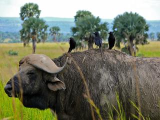 Piapiacs (Ptilostomus afer) on Buffalo's back (Syncerus brachyceros)