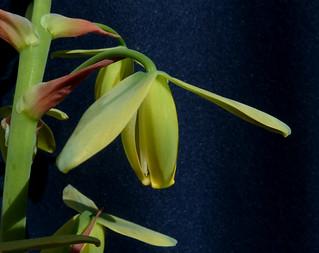 Albuca namaquensis et Albuca spiralis - Page 5 18280504766_51ca92d629_n
