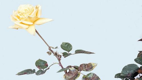 Bệnh sương mai trên cây hồng (Downy mildew on rose)