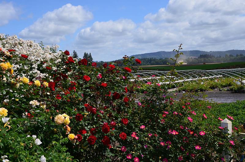 heirloom-roses-7