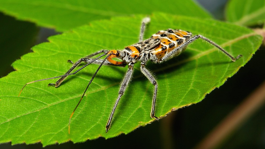 Assassin Bug Nymph (Reduviidae)