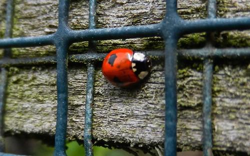 DSCN4437 2 spot Ladybird