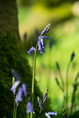 20150426-20_Cawston Bluebell Woods - Tree Trunk + Bluebells