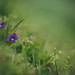Hillside Violets by Tammy Schild