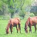 Horse Couple by ~ Lauren ~