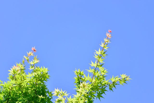 春のモミジ Japanese maple