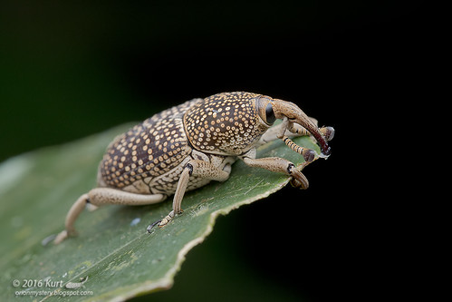 Weevil_MG_0756 copy