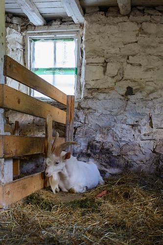 Goat at Pine Hill Farm
