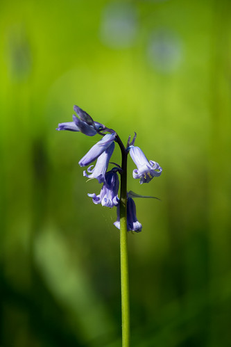 20150426-21_Cawston Bluebell Woods - Bluebells