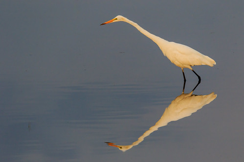 bird water sunrise background wildlife egret bombayhook