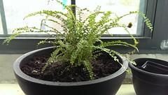 shrub(0.0), flower(0.0), garden(0.0), tree(0.0), bonsai(0.0), flowerpot(1.0), soil(1.0), plant(1.0), herb(1.0), houseplant(1.0),