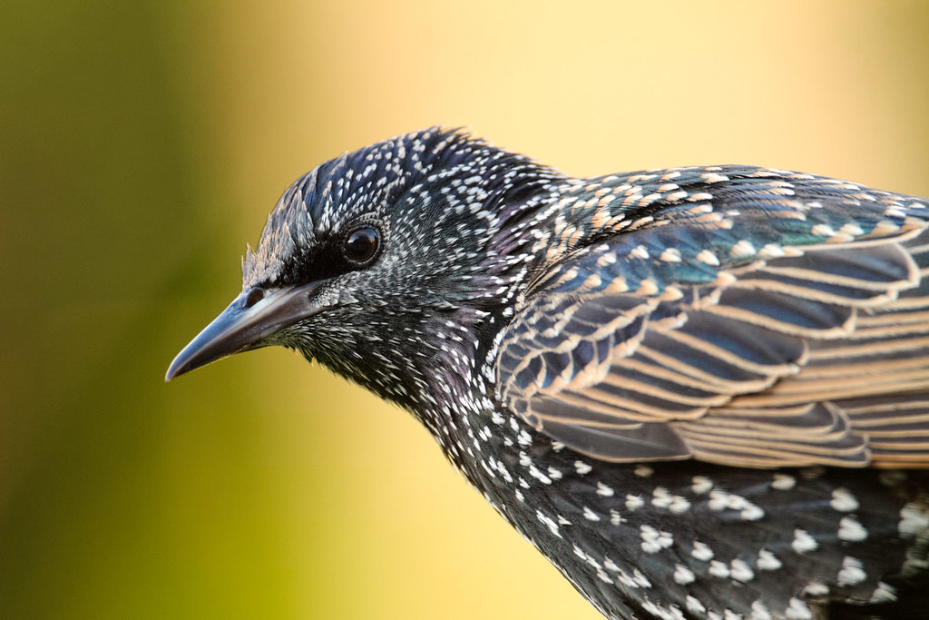 A close-up view of a European starling