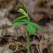 Isotria medeoloides (Small Whorled Pogonia orchid) by jimf_29605