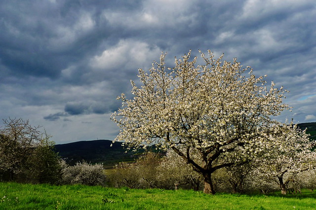 Bloosom Tree
