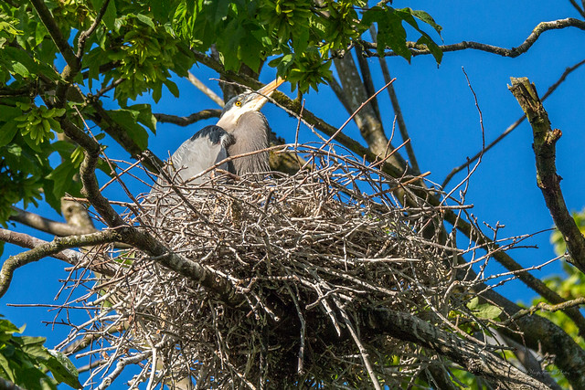 Stanley Park Heron Rookery