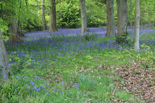 Dalkeith Country Park bluebells
