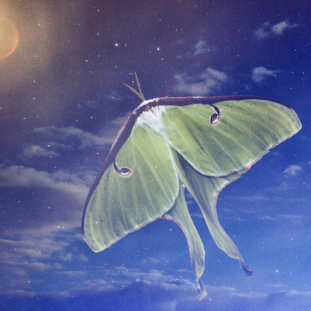IMG_7672 Luna Moth on Night Sky