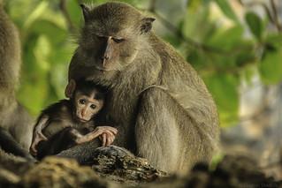 Mom and baby at Monkeys Beach - Thailand