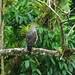 Gray hawk(nitidus plagiatus). Corredor Biológico Paso Las Lapas, Bijagual de Turrubares. San José. Costa Rica by Mario E. Campos Sandoval