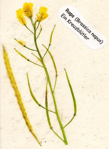 Herbarium gepresste Pflanzen Mannheim Pfalz Odenwald Raps Brassica napus