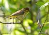 Paruline à couronne rousse / Palm Warbler