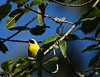 Common Yellow-Throat Warbler Male