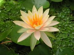 lily, flower, flora, sacred lotus, lotus, proteales, petal, aquatic plant,