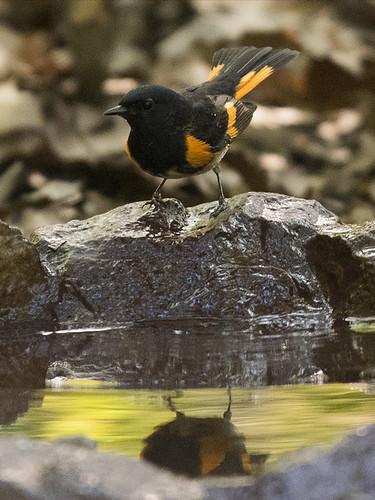 Forest Park: American Redstart Bathing
