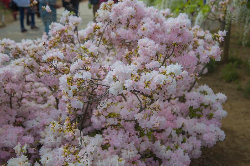 ashikaga_flowerpark-22