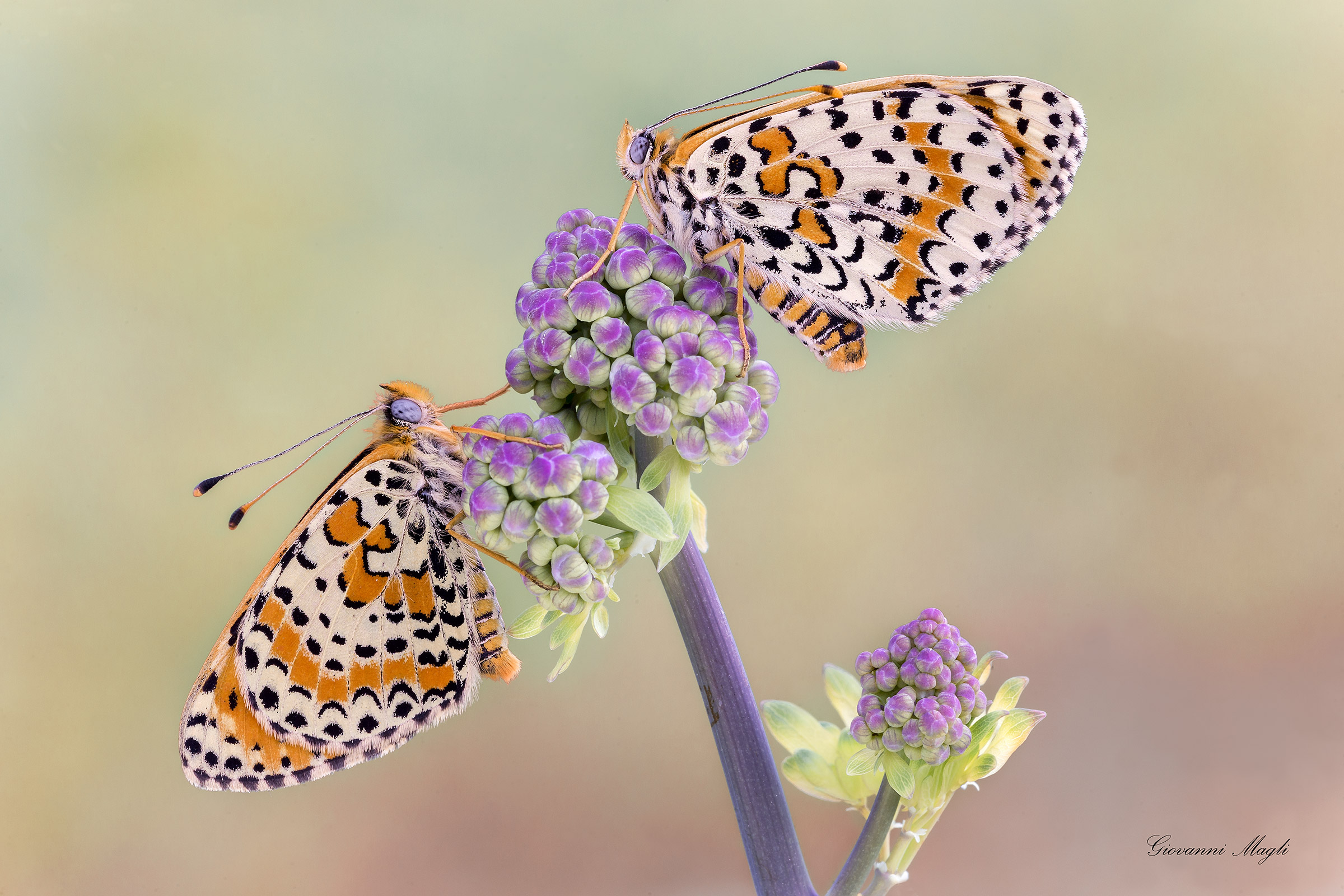 Spotted Fritillary butterflies [2400x1600]