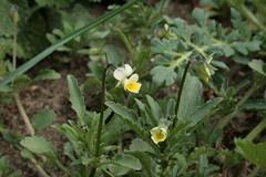 Viola arvensis - Acker-Stiefmütterchen
