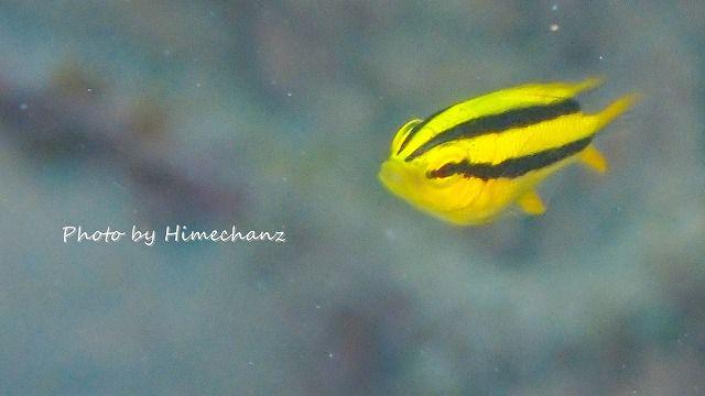 極小サイズのヒレナガスズメ幼魚