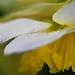 Yellow ruffles_055