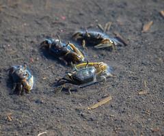 Mud Fiddler Crab (2)