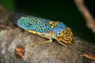 Pretty Leafhopper