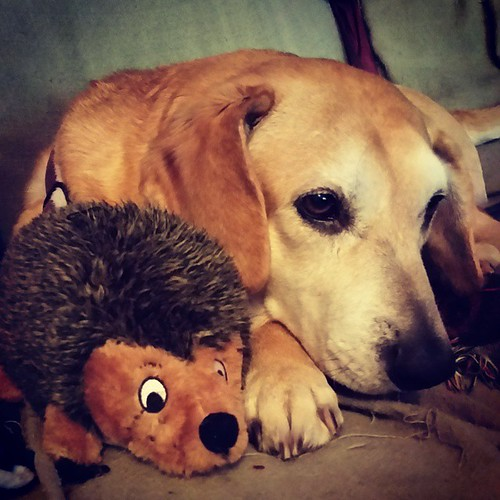 Sophie has 2 favorite toys... #planetdog soft squeaky tennis balls and Hedgehog toys. I try to keep spares on hand of both...time to restock the hedgehog family! #houndmix #rescueddogsofinstagram #muttstagram #instadog #dogsofinstagram #ilovemyseniordog #