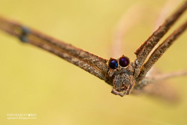 Net-casting spider (Deinopis sp.) - DSC_9748