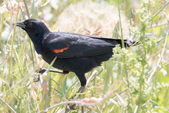 IMG_5637.jpg Red-winged Blackbird, Neary Lagoon, Santa Cruz