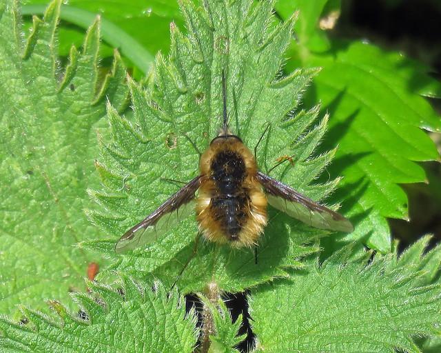 Bee Fly - Bombylius major